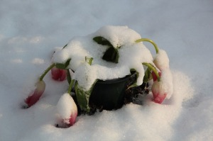 tulips frozen and bent in snow